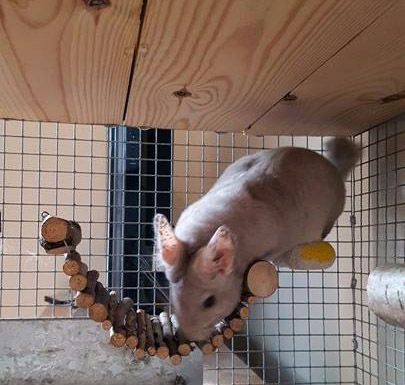 chinchilla on bolted ramp