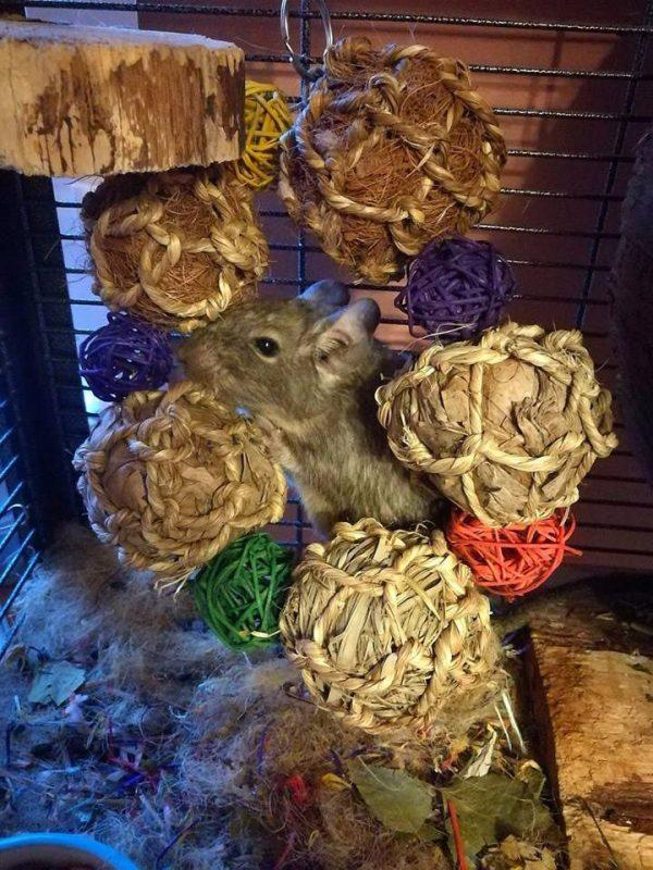 degu with ball wreath