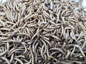 mealworm close up